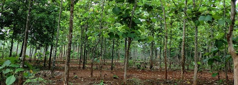 Plantagen Teak Bäume